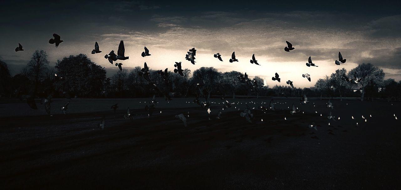 Flock Of Birds Flying Sky Silhouette Animal Wildlife Nature Outdoors Spread Wings Beauty In Nature Dark Cold Temperature Fresh On Eyeem  Silhouette The Week Of Eyeem Misty Trees