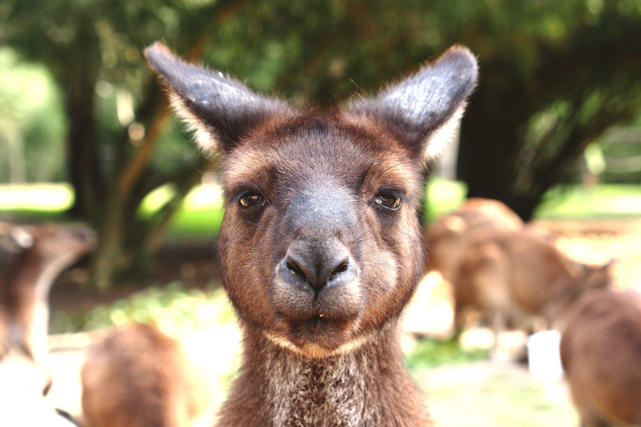 Beautiful stock photos of kangaroo, Animal, Animal Head, Animal Themes, Animals In The Wild