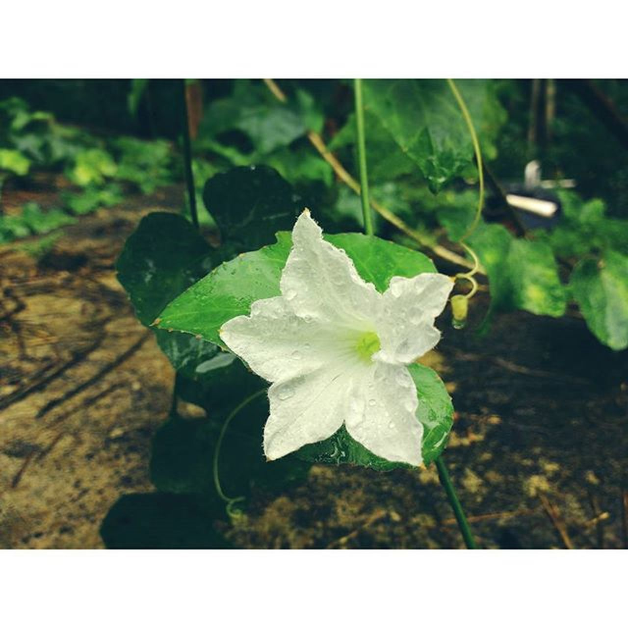 Bheegi 💧 Littleflower 🌼NaturalBeauty Rainkissed Lonleyflower Motog3gen Mobilephotography Malluink AdobeLightroom Afterlight Like4likes Instalike Instagood Instadaily Picoftheday