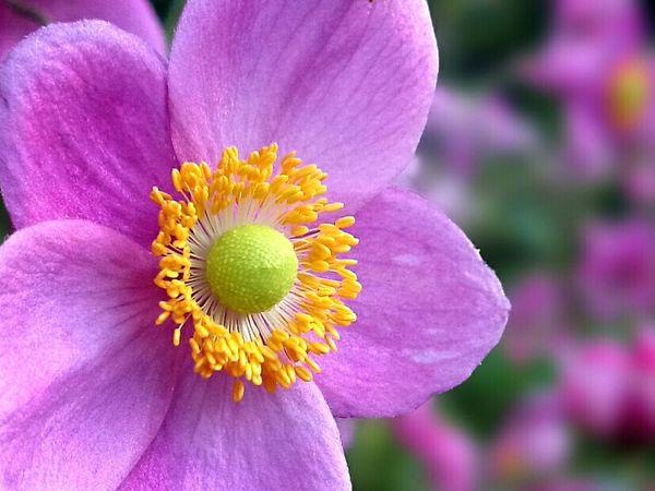 秋明菊 EyeEm Best Shots Eye Em Nature Lover Flower Pink Flower