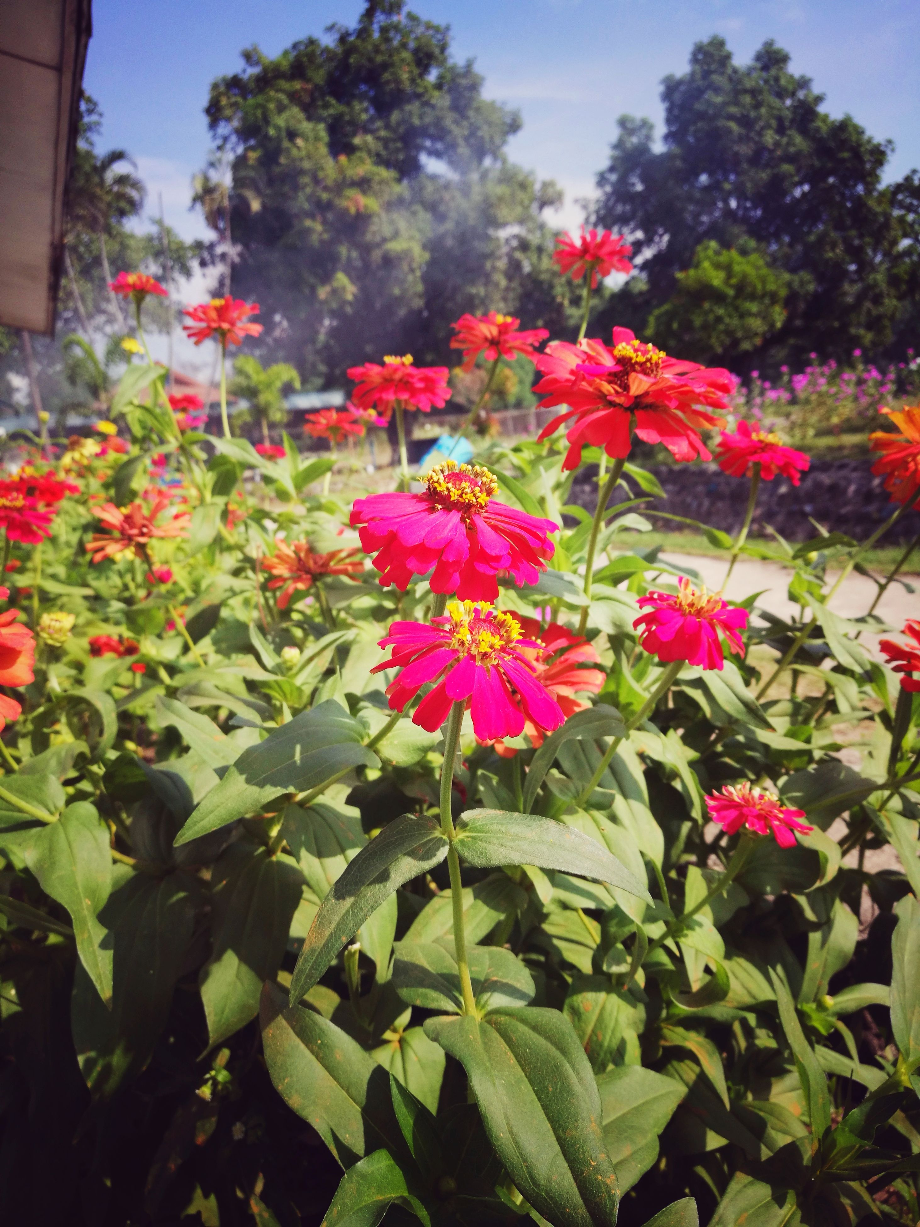 flower, growth, pink color, beauty in nature, plant, nature, blooming, petal, fragility, freshness, no people, outdoors, flower head, day, leaf, close-up, zinnia