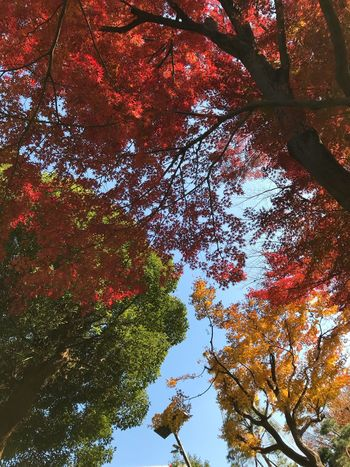 Tree Autumn Leaf Low Angle View Change Nature Branch Beauty In Nature Growth Day Tranquility No People Maple Tree Outdoors Scenics Maple Leaf Maple Sky