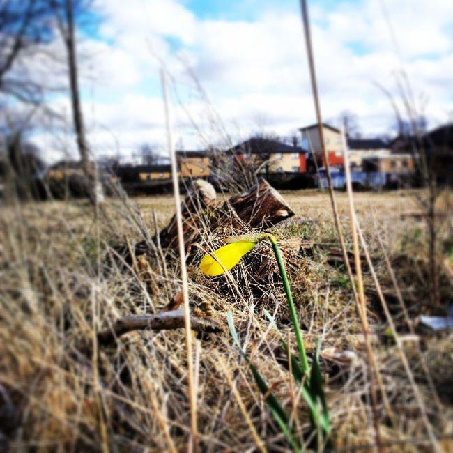 Standingalone Bluesky Clouds Flower Logs Deadwood  Wasteground Daffodil Colour Yellow Blue Barlanark Glasgow  Scottish Scotland