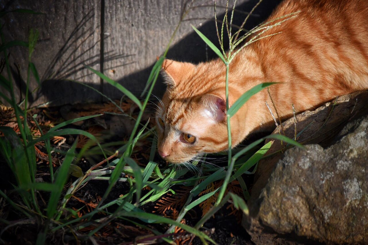 one animal, animal themes, mammal, domestic animals, day, pets, no people, feline, close-up, grass, outdoors, nature