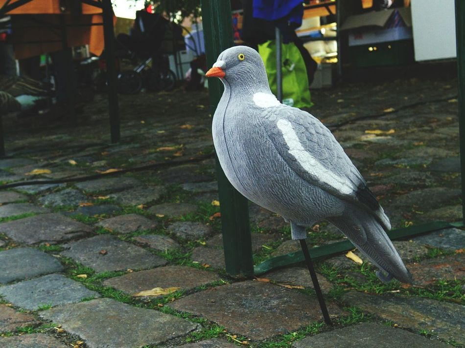 Lonely Pidgeon  at German Village Market Stall. Stay Put No Go Play Dead Weird Birds Of EyeEm  Not Flying