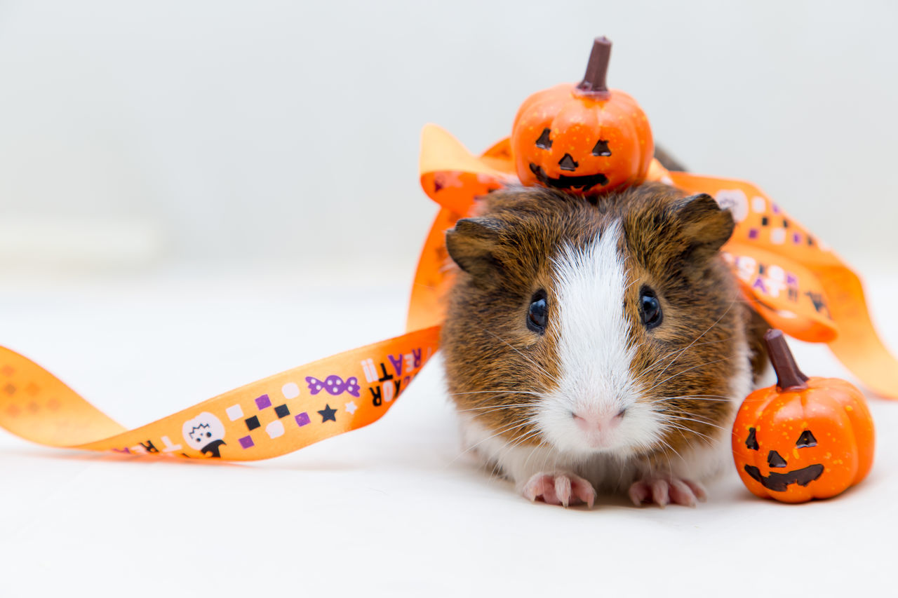 Beautiful stock photos of guinea-pigs,  Animal Themes,  Anthropomorphic Face,  Anthropomorphic Smiley Face,  Close-Up