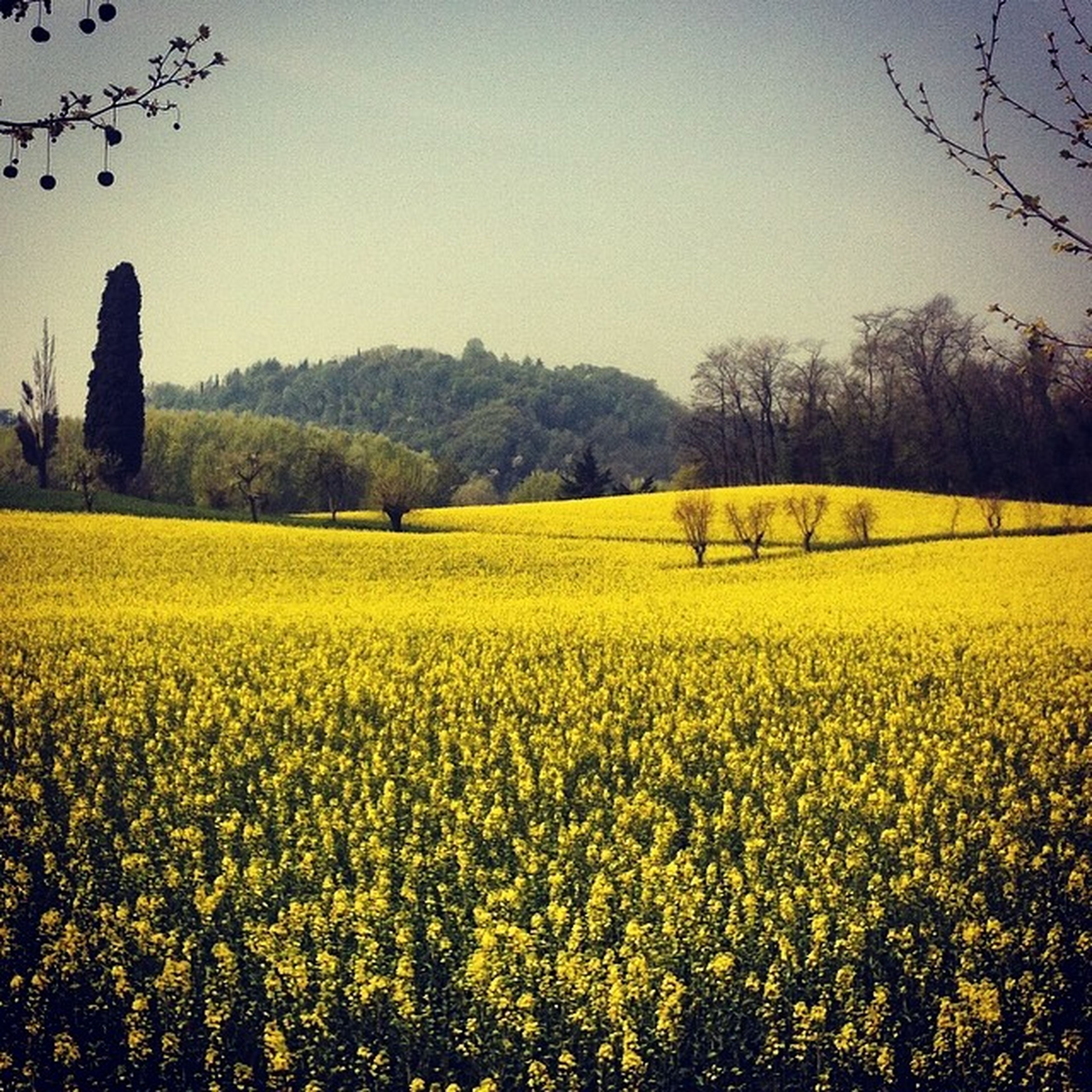 yellow, agriculture, field, rural scene, clear sky, beauty in nature, landscape, growth, tranquil scene, nature, tranquility, flower, farm, tree, scenics, crop, oilseed rape, abundance, cultivated land, sky