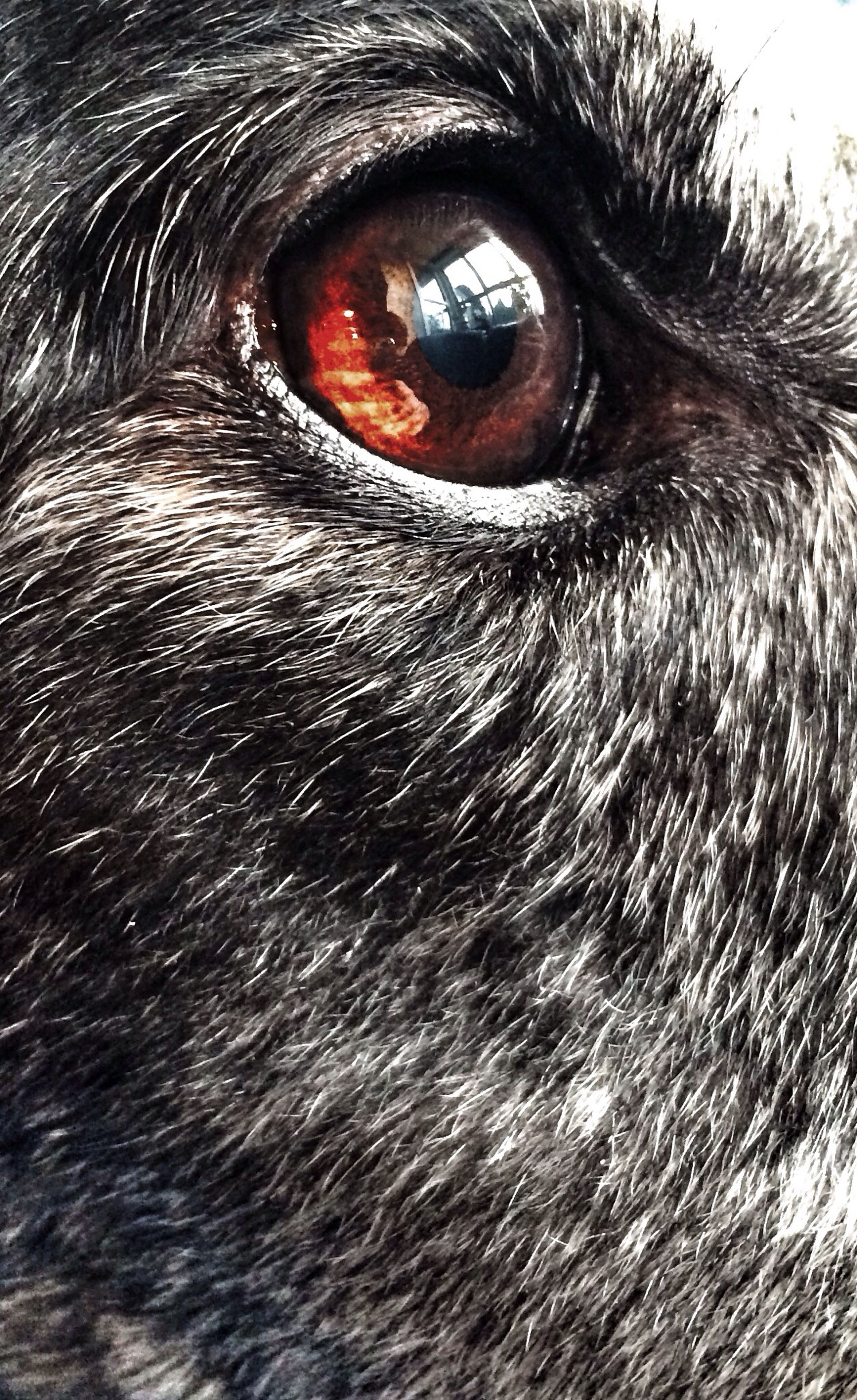 close-up, one animal, looking at camera, full frame, portrait, animal eye, human eye, backgrounds, eyesight, animal themes, extreme close-up, part of, animal body part, animal head, pets, extreme close up, eyelash, animal hair, detail, staring