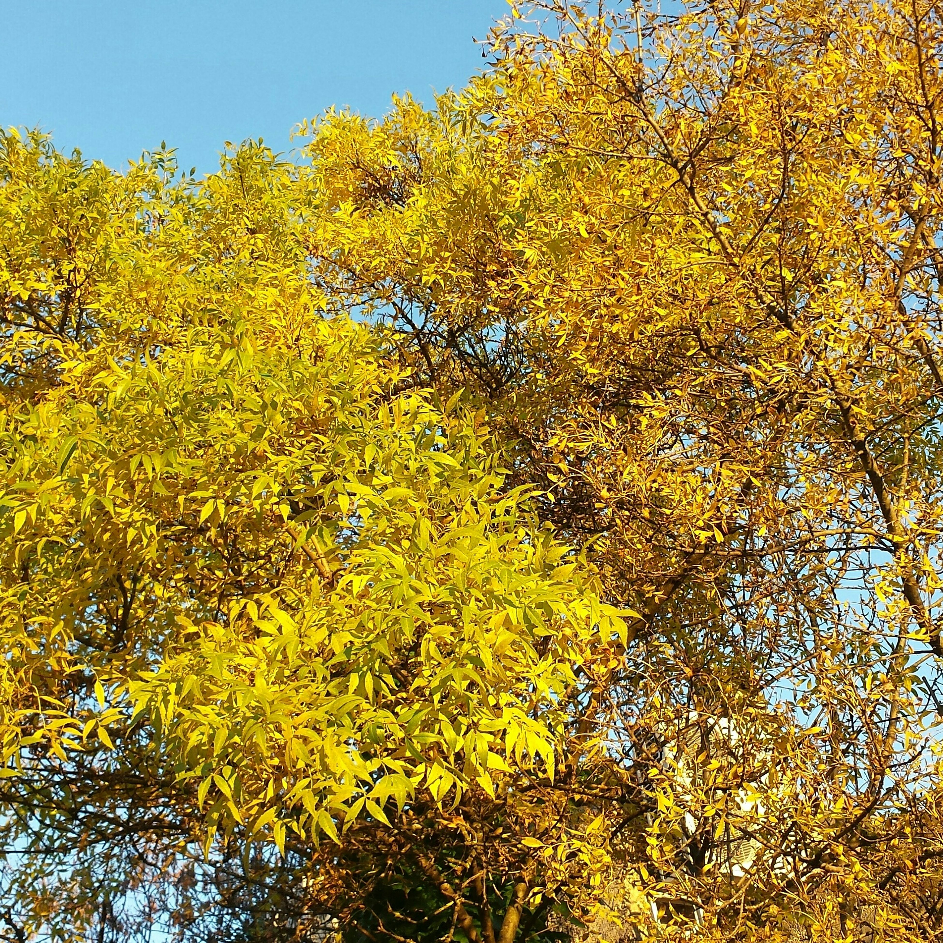 tree, yellow, growth, branch, clear sky, beauty in nature, nature, tranquility, autumn, low angle view, tranquil scene, sunlight, scenics, change, green color, season, day, no people, outdoors, sky