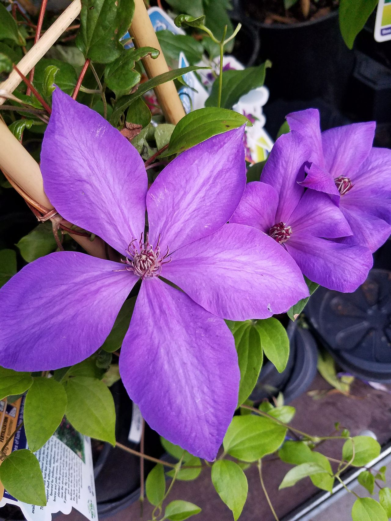 Clematis Clematis Flower Clematisphotography Flower Purple Petal Beauty In Nature Nature Fragility Outdoors Plant Flower Head Day Growth No People Close-up Freshness