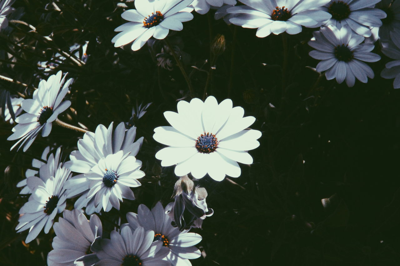 flower, petal, beauty in nature, fragility, nature, flower head, freshness, white color, growth, blooming, no people, plant, day, outdoors, osteospermum, close-up