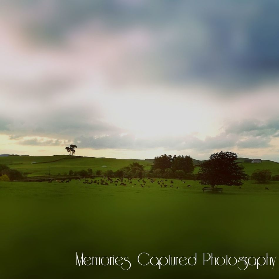 Beauty In Nature Taking A Shot - Sport Scenics Farming Cows Grazing