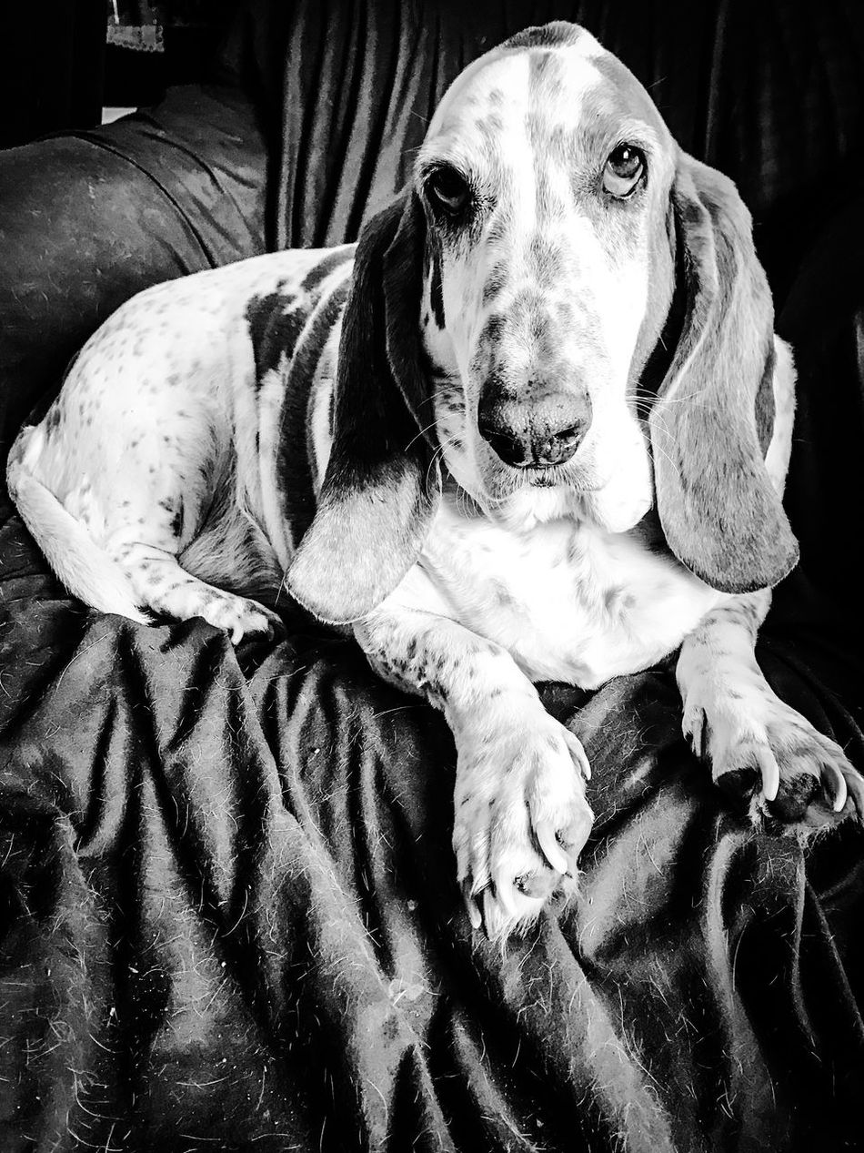 Love this boy, dog hair and all Alwaysvacuming Pets Dog Looking At Camera One Animal Portrait Indoors  No People RescuedIsMyFavoriteBreed Ilovemybassethounds Bassethoundsare Best Iphonephotography Bassethoundadventures Bassetmoments IPhone Photography Upclose And Personal Close-up Blackandwhite Photography