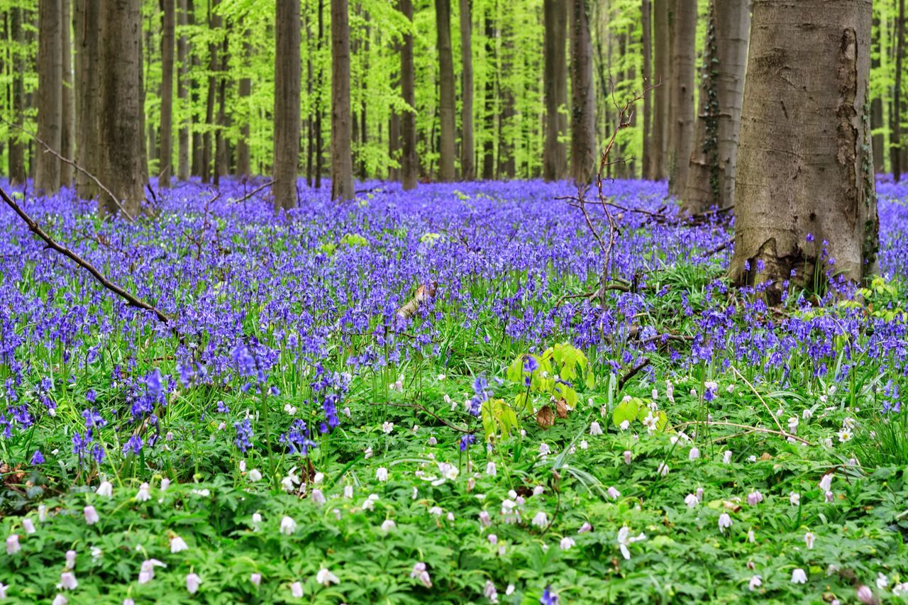 Flower Growth Beauty In Nature Green Color Fragility Outdoors Nature Purple Day Field No People Plant Tree Grass Freshness Tranquility Hallerbos Hiacynth