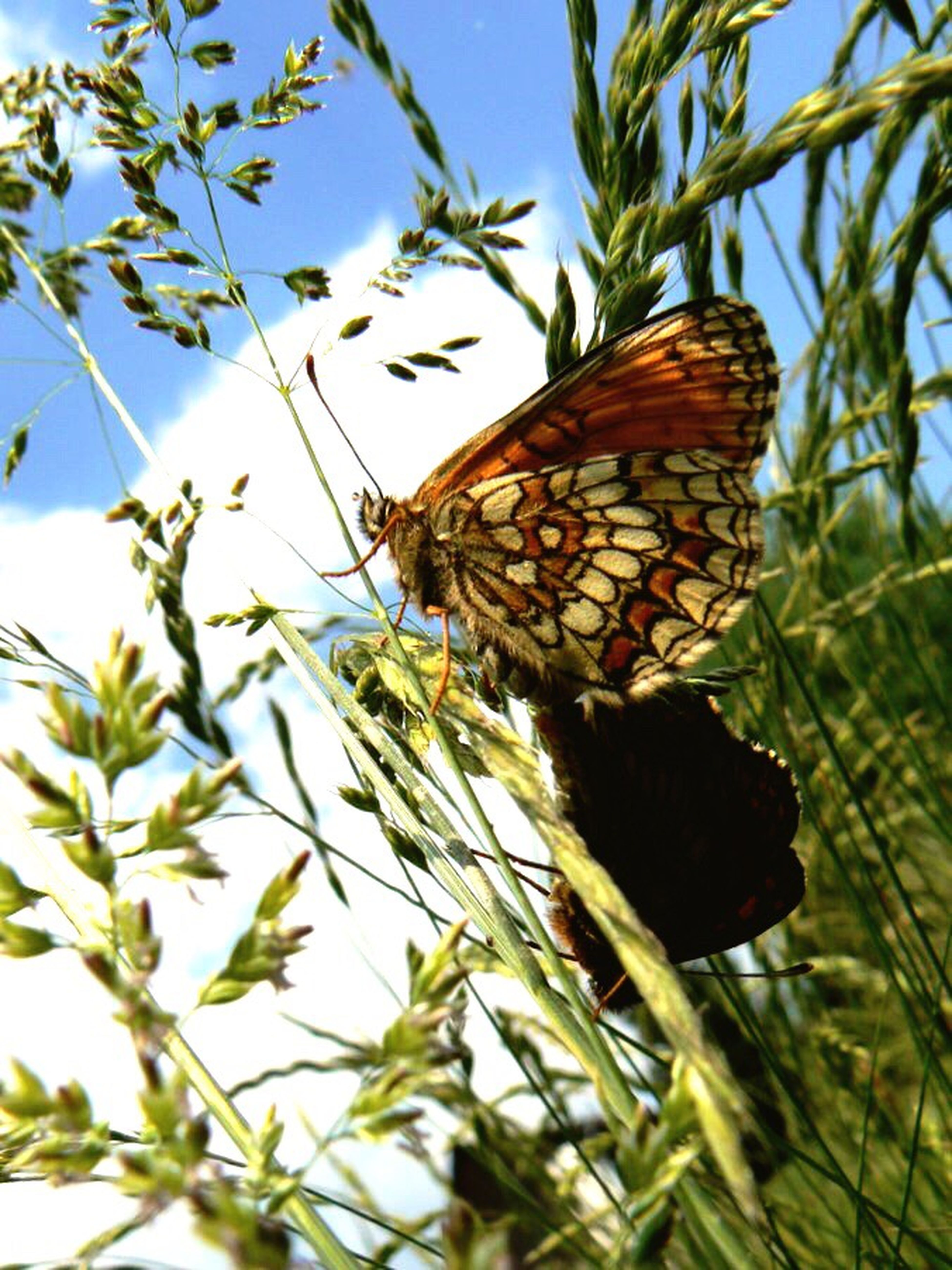 Butterfly Animals In The Wild Butterfly - Insect Two Love No People Insect Nature Plant Beauty In Nature Riegersburg Austria Styria Wiese Scenics Meadow Flowers Wiese Blumen Schmetterlinge Lieben Tag schön Summer Sommer