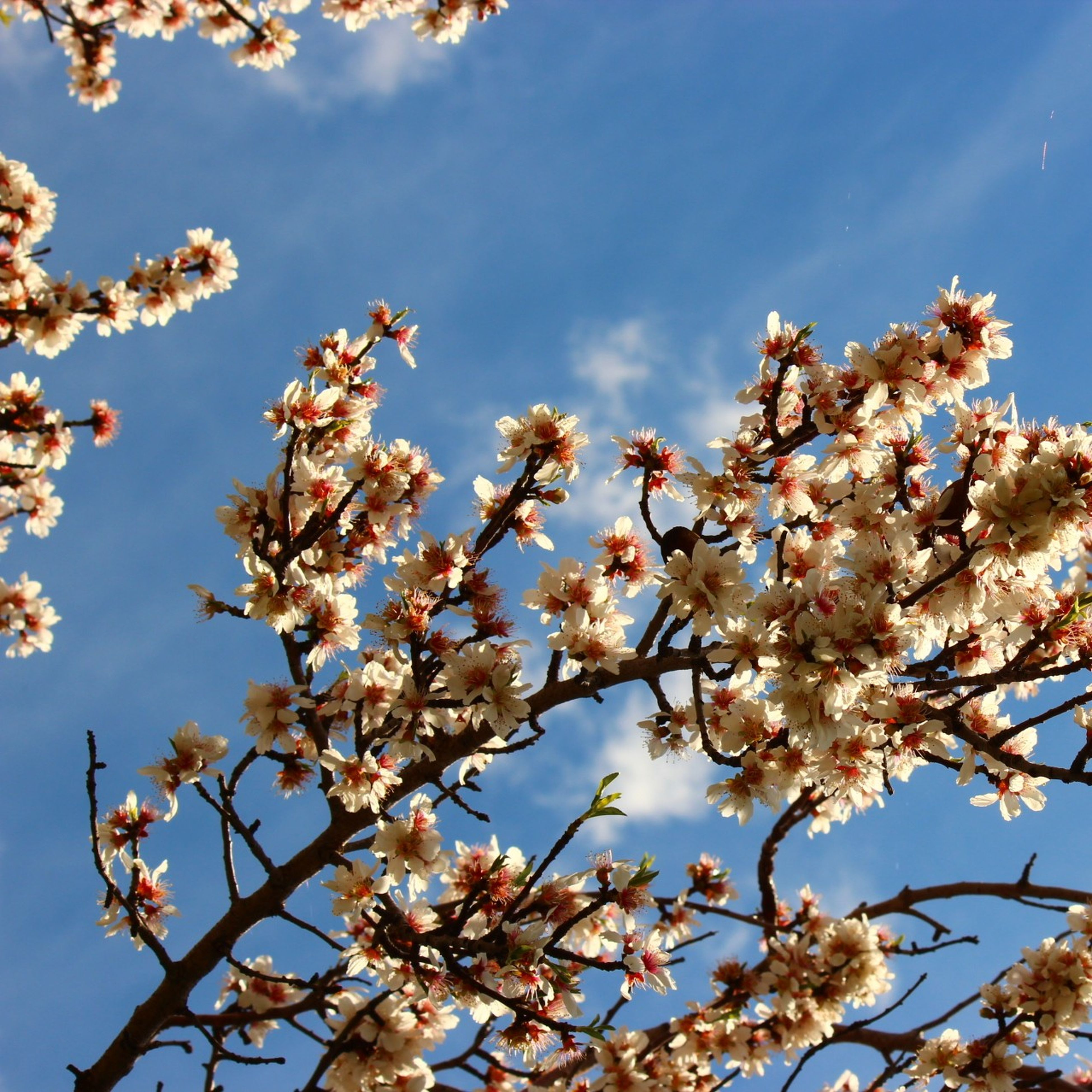 low angle view, branch, tree, flower, growth, sky, freshness, beauty in nature, nature, blossom, cherry blossom, blue, cherry tree, fragility, clear sky, springtime, day, outdoors, sunlight, no people