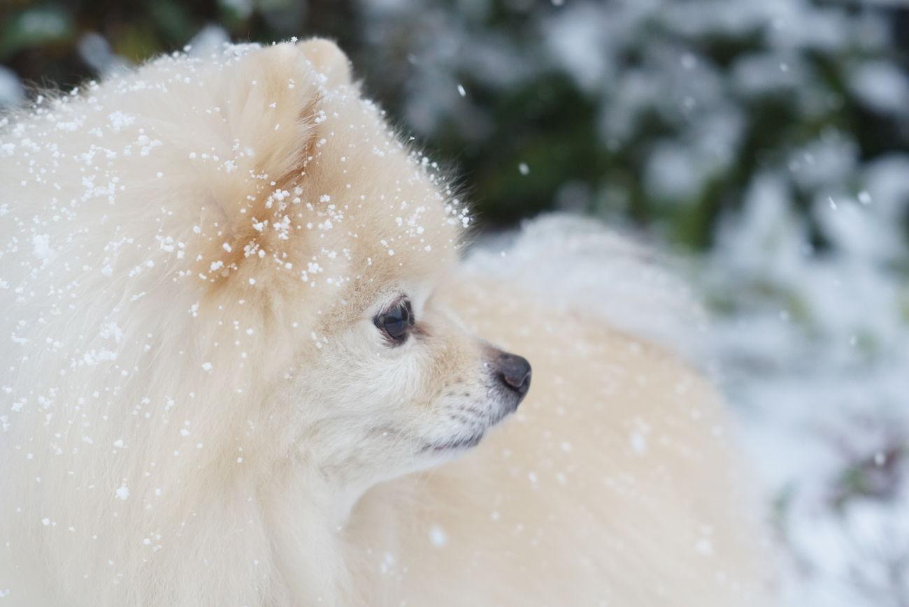 Snow 雪 オールドレンズ Pomeranian Minolta58mmf14 Sony Nex-5t Nofilter EyeEm Dogs Mylovelydog Oldlens ポメラニアン