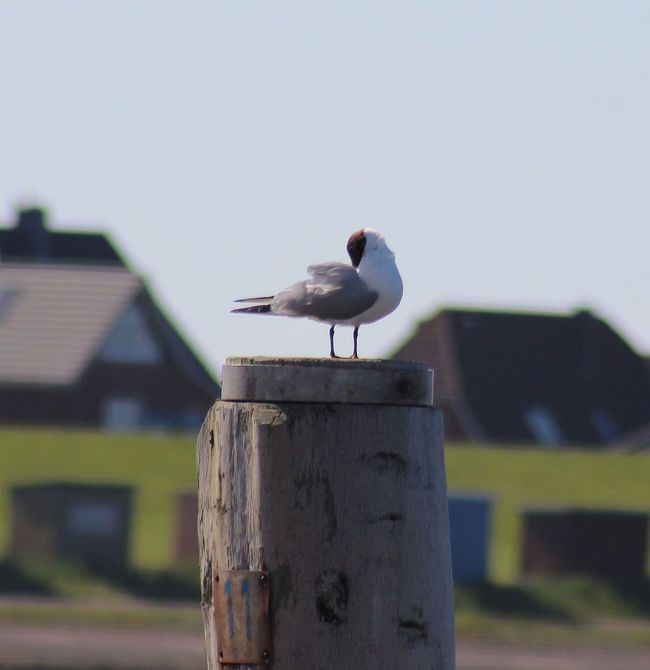 Animal Themes Animals In The Wild Bird Focus On Foreground One Animal Outdoors Vogel Möwe Nordsee Sea Wildlife