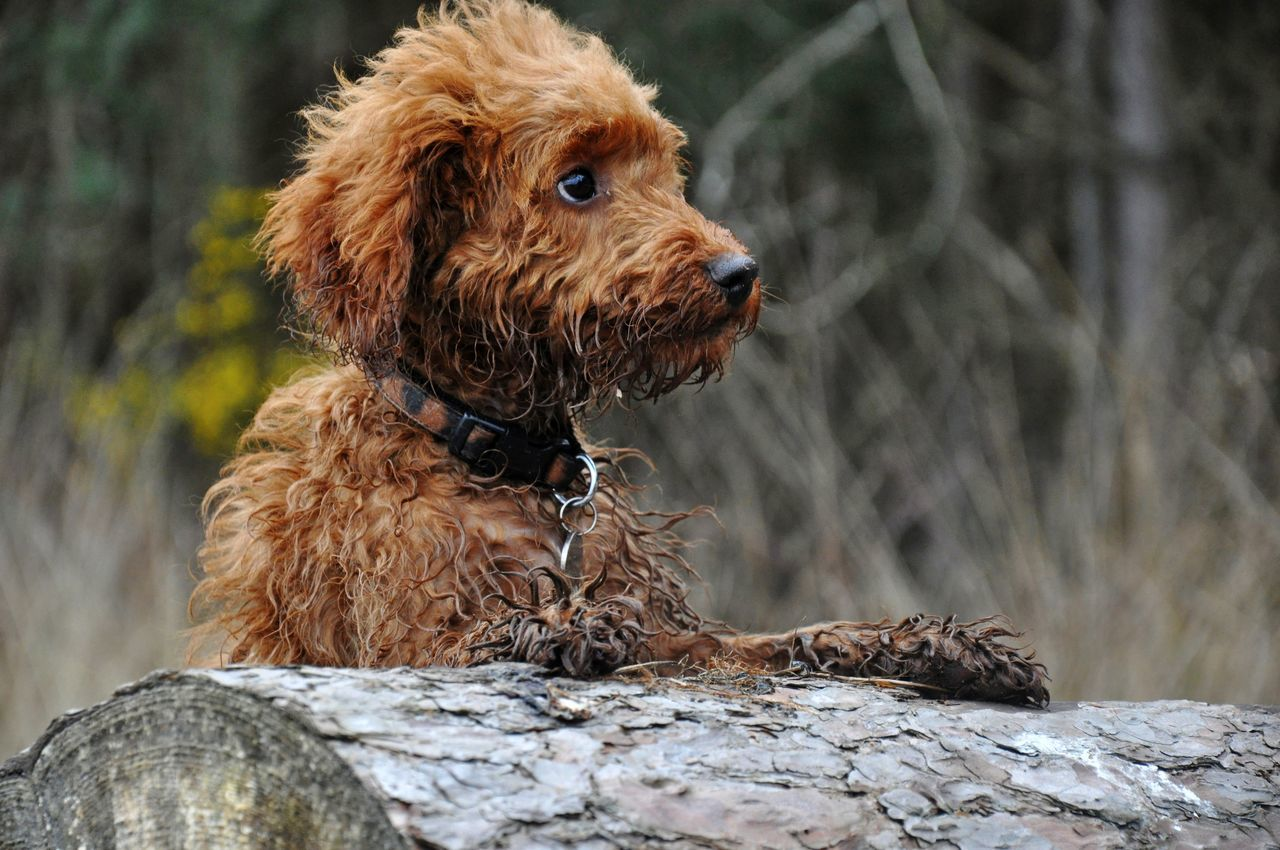 Labradoodle By Tree Stump