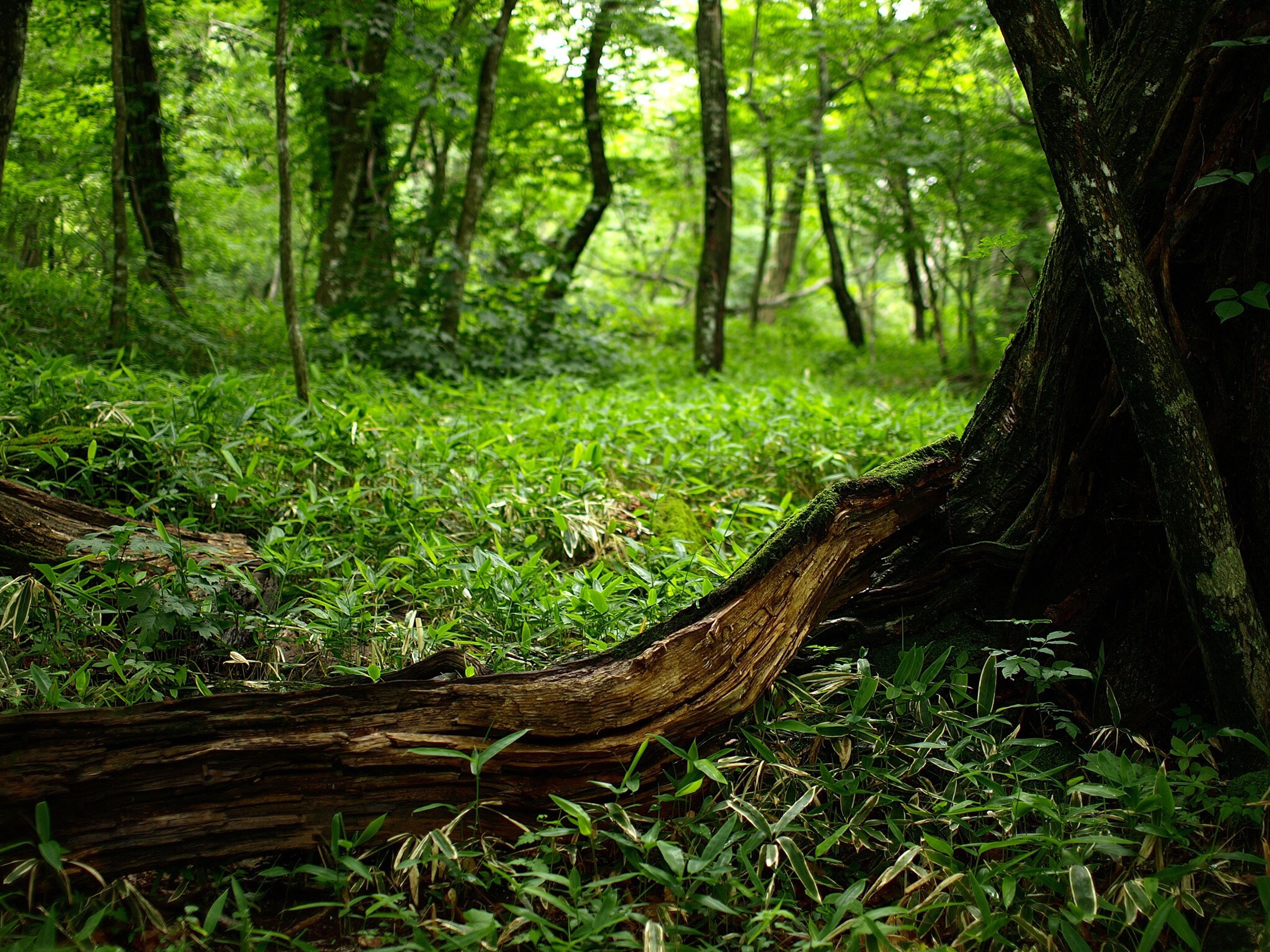 tree, forest, tree trunk, growth, woodland, tranquility, green color, nature, grass, tranquil scene, beauty in nature, wood - material, landscape, woods, lush foliage, non-urban scene, day, plant, outdoors, no people