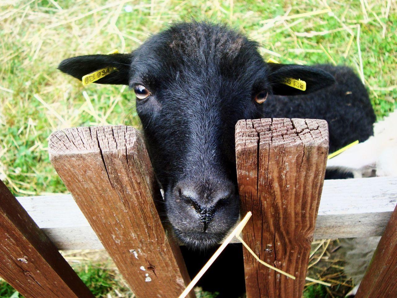 Animals Sheep🐑 Sheep Farm Farm Animals