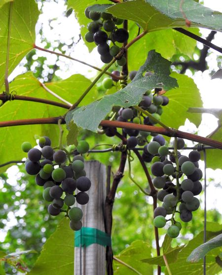 Close-up Concord Concord Grape Vine Concord Grapes Focus On Foreground Food Fruit Fruit Photography Fruits Grapes Grapes Nature Photography Grapevine Grapevines  Green Green Color Growing Growth Leaf Low Angle View Nature No People Outdoors Ripe Vegetarian Food Vine