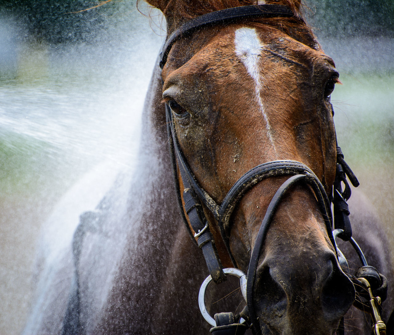 A thoroughbred horse gets a bath after a race Animal Head  Animal Themes Brown Close-up Equus Caballus Przewalskii Horse Horse Bathi Horse Bathing Horse Racing Mammal No People One Animal Outdoors Thoroghbredracing Thoroughbred
