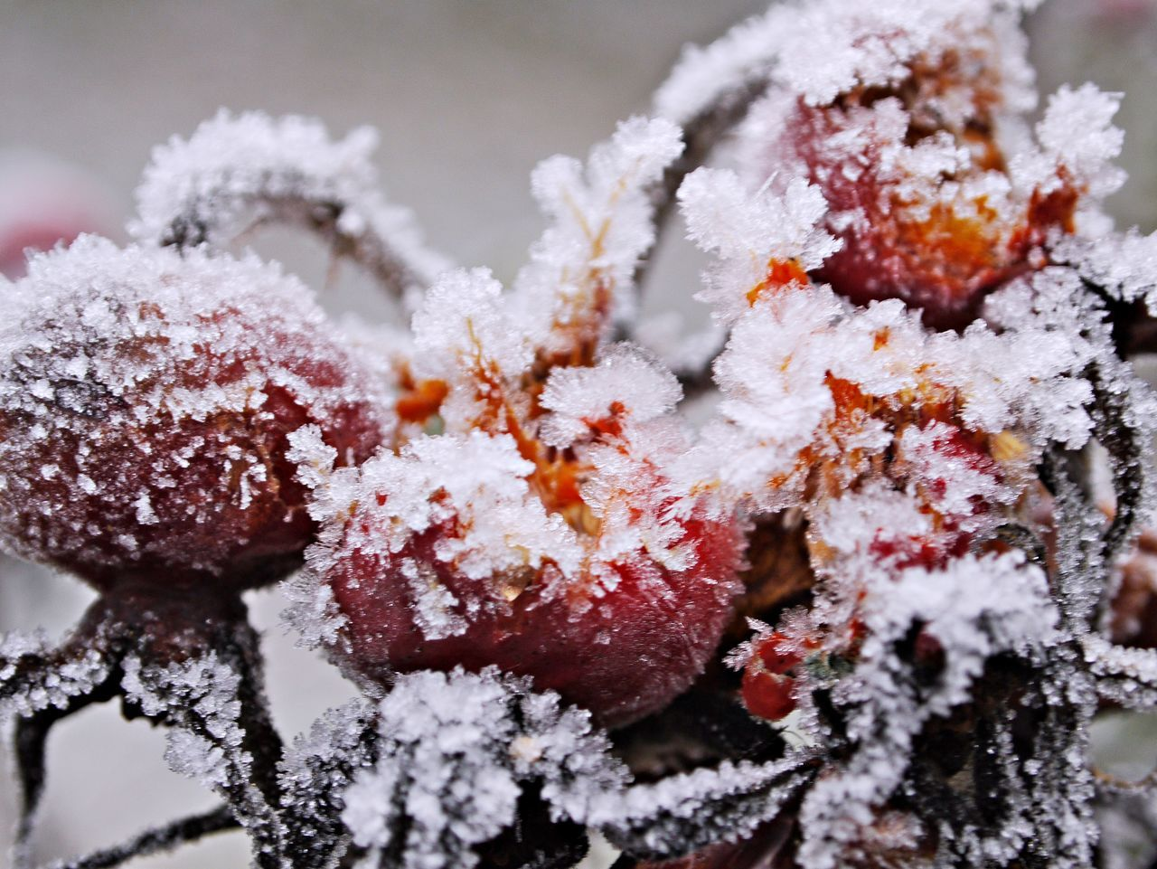 Beauty In Nature Branch Close-up Cold Temperature Day Fragility Freshness Growth Ice Nature No People Outdoors Red Rose Hips Snow Tree White Color Winter