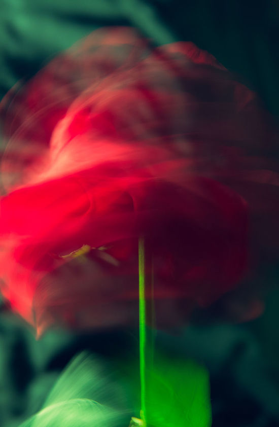 Fugitive Beauty In Nature Blooming Blur Close-up Flower Flower Head Fragility Freshness Fugitive Green Growth In Motion Long Exposure Motion Motion Blur Nature No People Plant Red Roses🌹 Rose🌹 Silhuette Specter Static Temporary