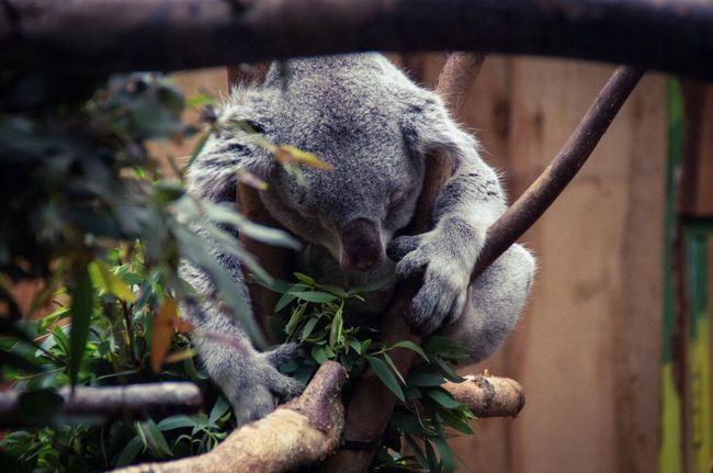 Animal Themes Animals Austraila Close-up Day Edinburgh Edinburgh Zoo Friends Green Koala Marsupial Nature No People Rest Scotland Sleep Sleeping Soft Tree Trunk Wildlife Zoo