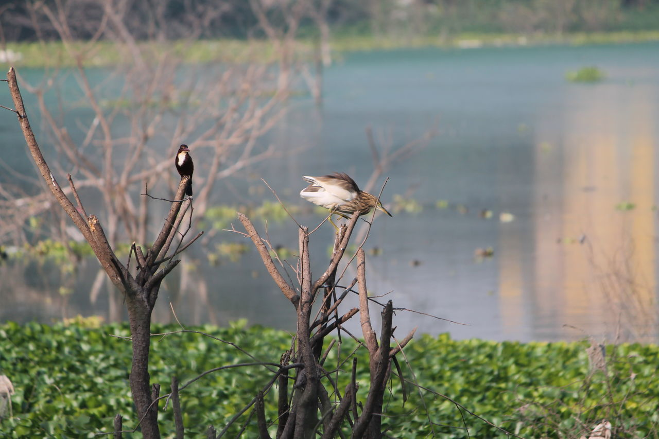 animals in the wild, bird, animal wildlife, animal themes, nature, focus on foreground, water, no people, lake, plant, day, one animal, perching, outdoors, beauty in nature, tree, branch, close-up