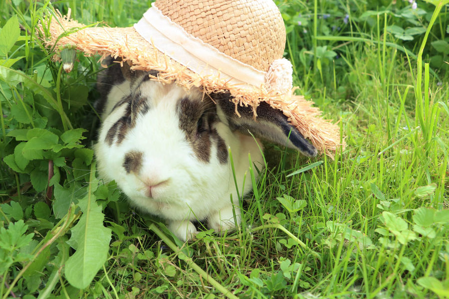 Brown and white rabbit,plant-eating mammal, with long ears, long hind legs, and a short tail, is sitting in the grass Animal Themes Bunny  Close-up Dandelion Day Domestic Animals Field Grass Grass Mammal Nature No People One Animal Outdoors Pets Rabbit Summer Wildlife