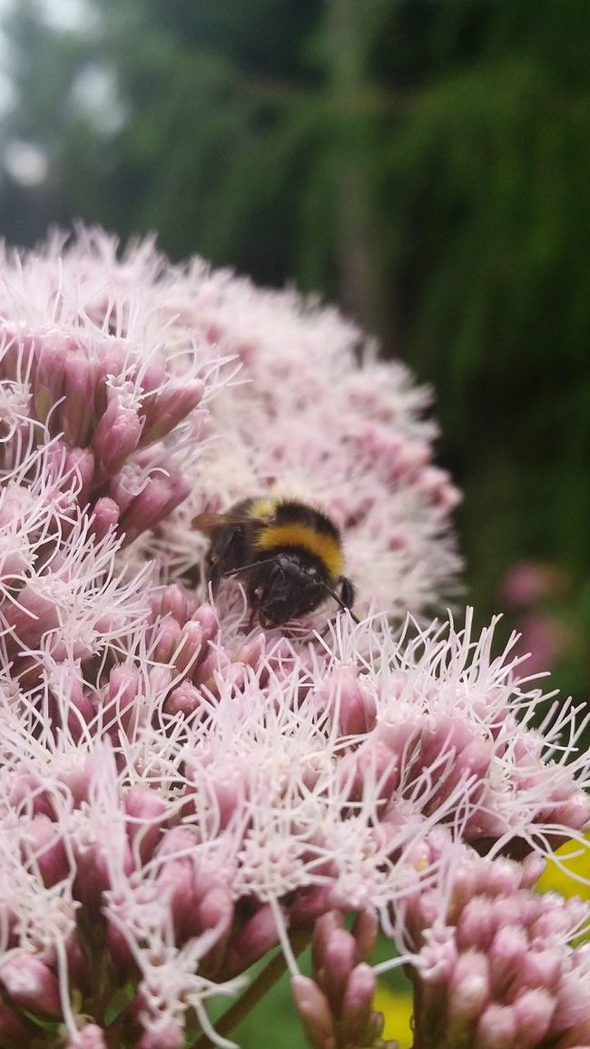 Bumblebee Humble-bee Bumble Bee Insect Insect On A Flower Nature Insect Photography Close-up No People Bumblebee On Flower Humble Bee Pink Pink Flower Botany Fragile Focus On Foreground High Angle View Insect Photo Dumbledore