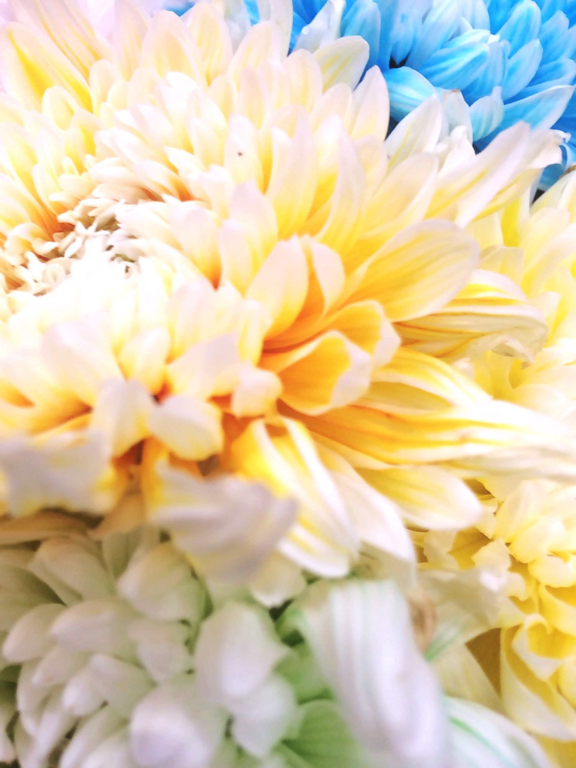 flower, petal, flower head, freshness, full frame, yellow, fragility, backgrounds, beauty in nature, close-up, nature, blooming, growth, pollen, detail, indoors, no people, softness, natural pattern, white color