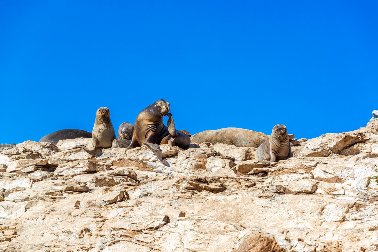 Group of sea lions near Damas Island in Chile America Animal Brown Chile Damas DamasIsland Eye Island Lion Lions Look Male Mammal Nature Ocean Outdoors Rock Sea Sealion  South Tourism Travel Vacation Water Wildlife