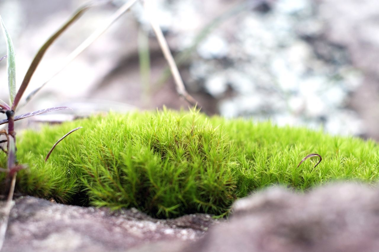 green color, nature, growth, close-up, outdoors, day, selective focus, grass, no people, beauty in nature, moss, plant
