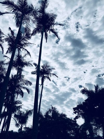 Palm Tree Tree Low Angle View Sky Silhouette Cloud - Sky Tree Trunk Growth Nature Beauty In Nature No People Tranquility Day Scenics Outdoors
