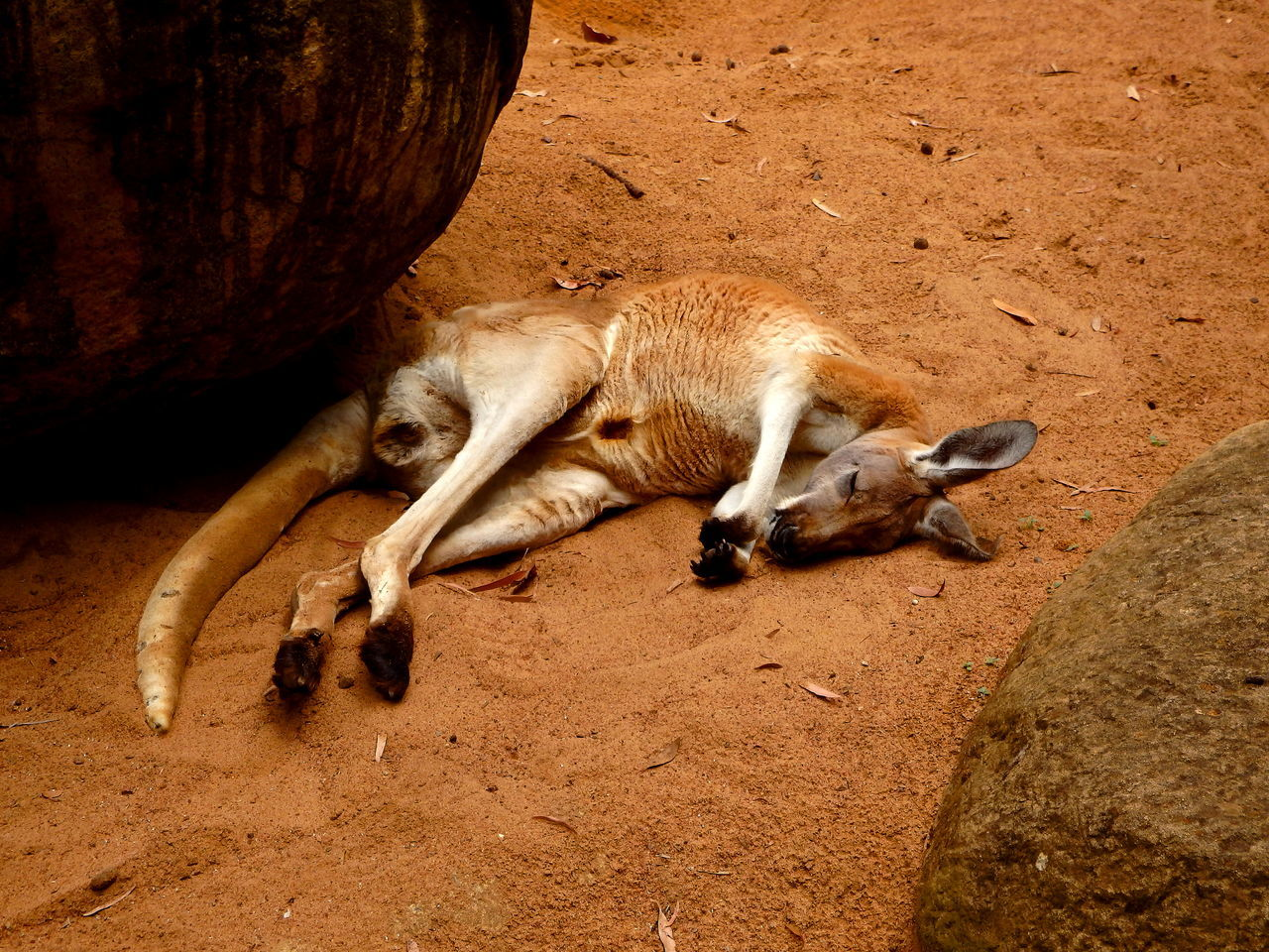 Sleepy kangaroo Animal Animal Themes Animals Animals In The Wild Curiosity Day EyeEm Nature Lover Kangaroo Mammal Nature Nature_collection One Animal Relaxation Relaxing Side View Sleeping Wildlife Zoology