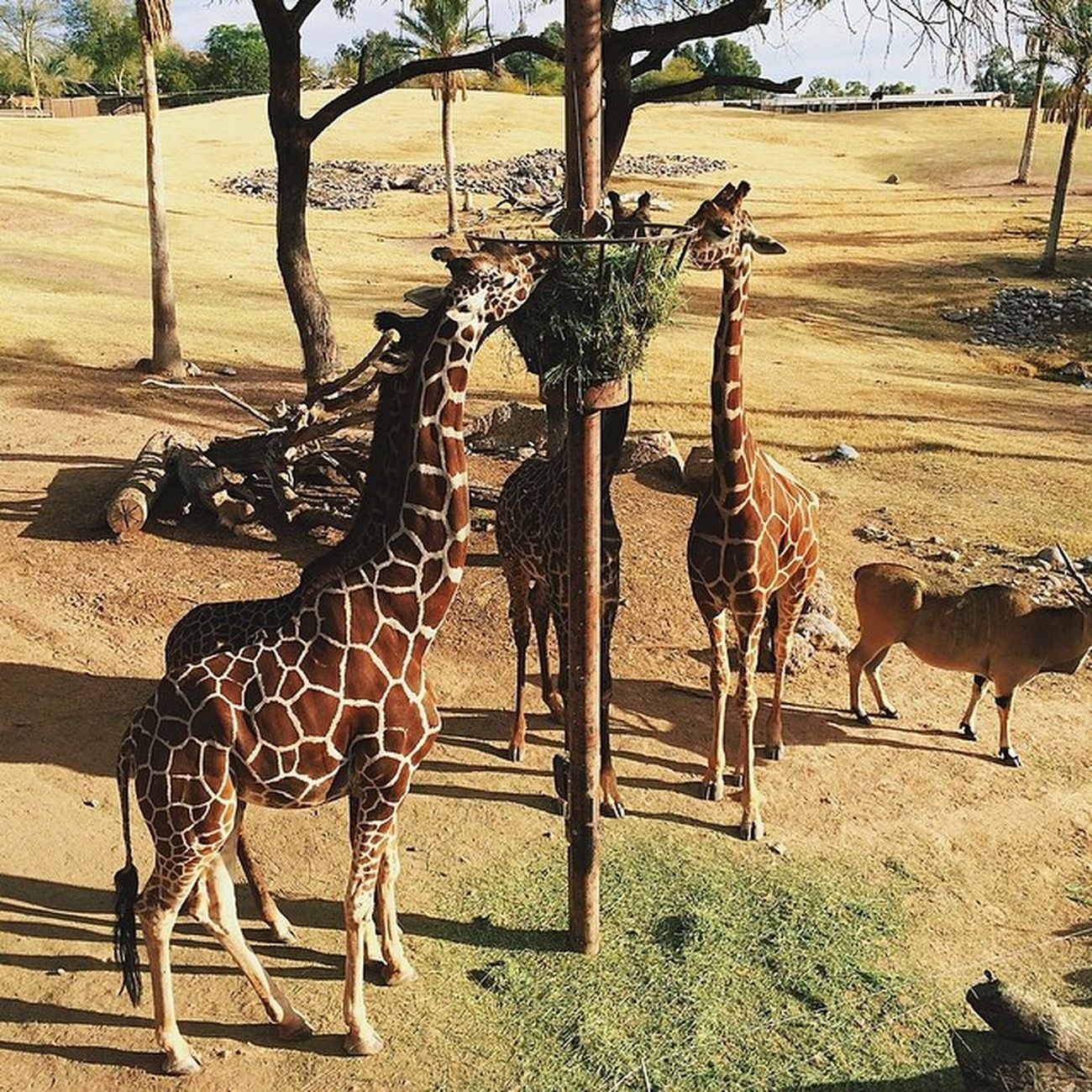 Nature Beautiful Pretty Beauty iphonesia vsco vscocam vscoexpo vscounited instagramaz arizona landscape igersphx instagood vscophile igersusa phoenix phxzoo zoo giraffe wildlife animal