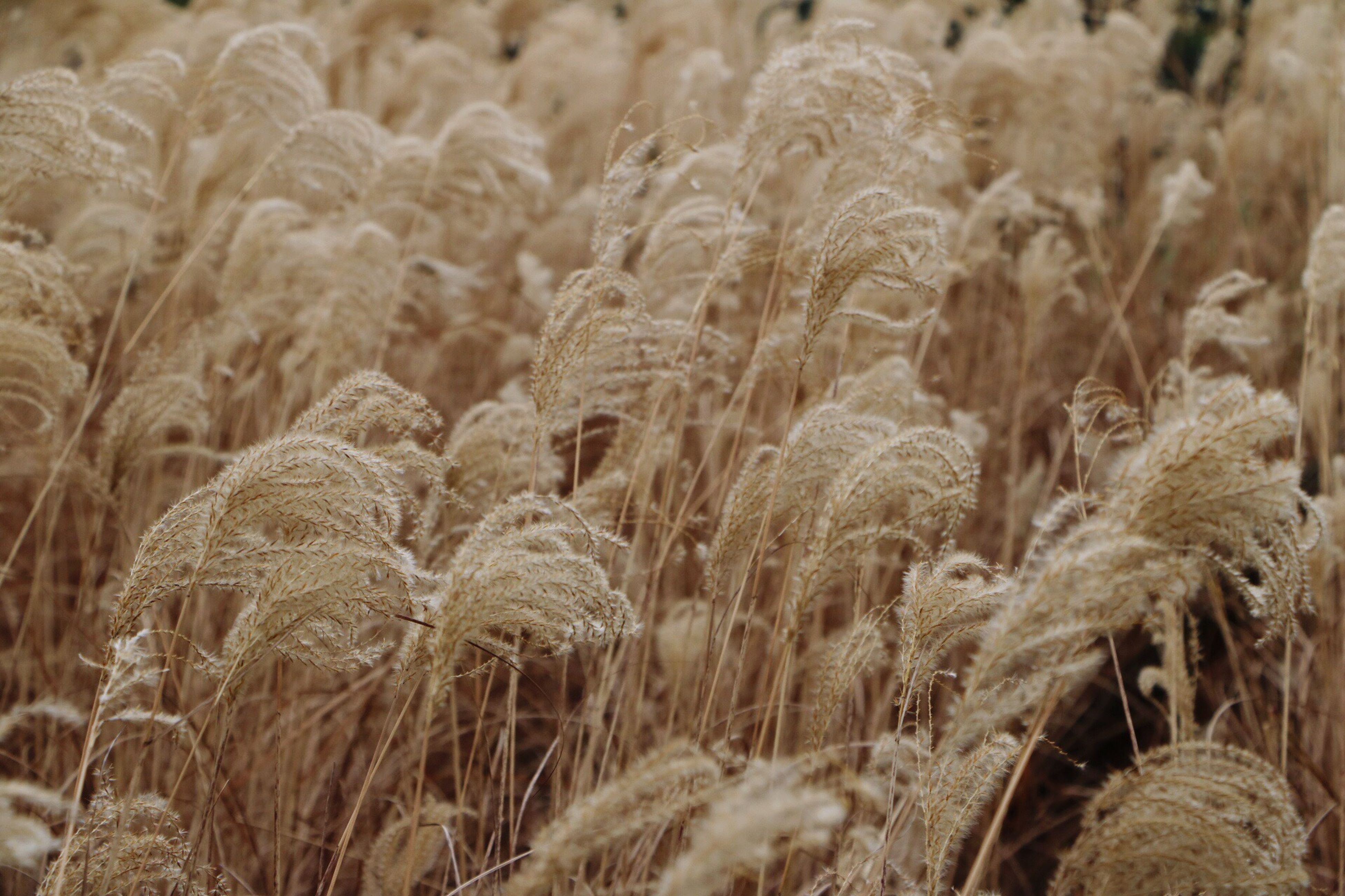 nature, growth, field, crop, tranquility, no people, plant, agriculture, rural scene, beauty in nature, outdoors, cereal plant, close-up, full frame, day, scenics, wheat