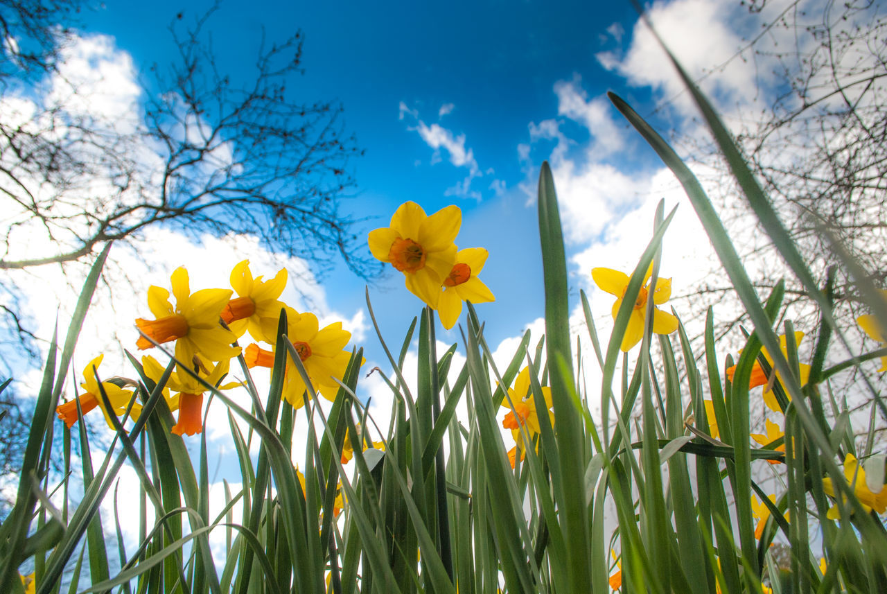 Blue Sky Daffodils Flowers Low Angle View Sky Spring Tooting Bec Common Yellow