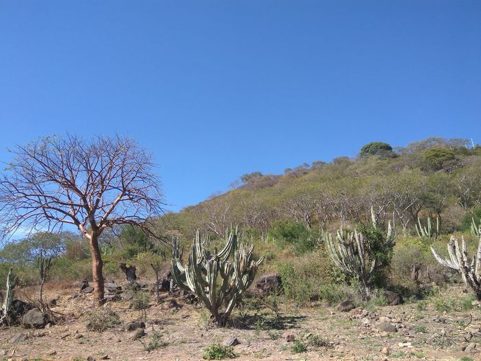 Nature Tree Clear Sky Day Plant Outdoors Sky No People Beauty In Nature Cactus Villa Corona