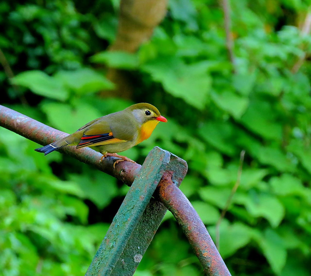 Side View Of Red-billed Leiothrix Perching On Metallic Railing Against Plants