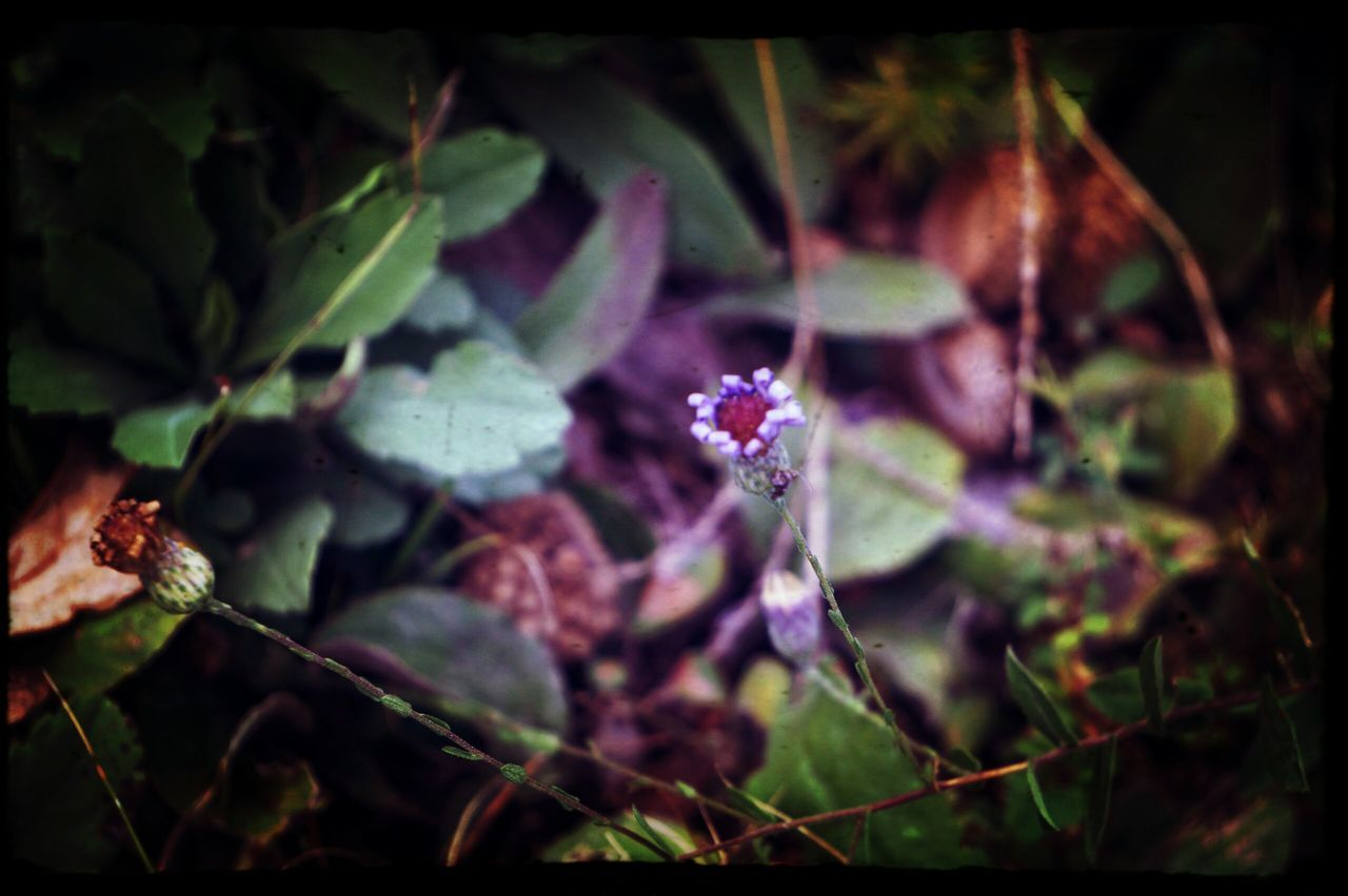flower, growth, plant, nature, fragility, no people, purple, outdoors, beauty in nature, freshness, day, close-up, leaf, flower head