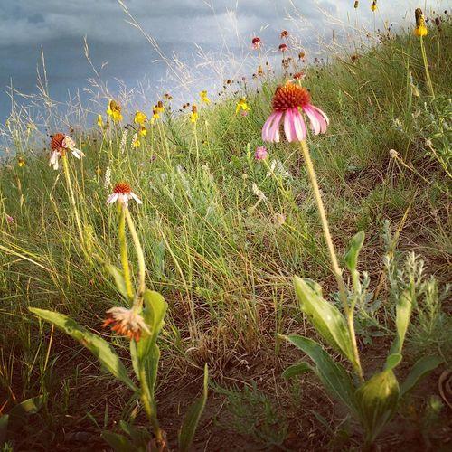 A walk through the pasture. Echinacea and yellow wild flowers Nature Beauty In Nature Petal Wildflower Flower Head northdakota Flowers. Coneflower Wildflower Landscape No