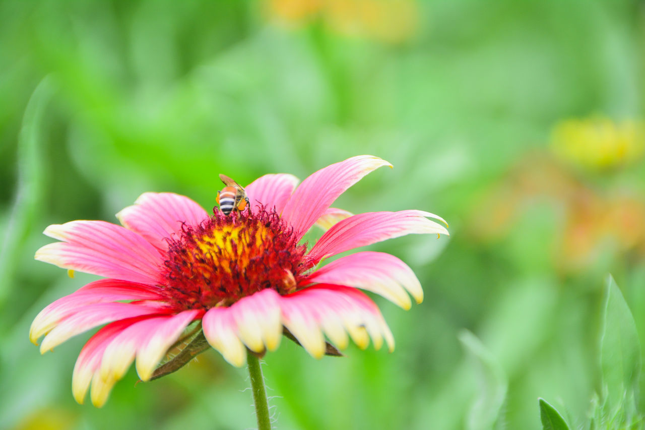 flower, insect, animal themes, one animal, animals in the wild, nature, petal, growth, fragility, beauty in nature, plant, freshness, flower head, pollen, animal wildlife, focus on foreground, pollination, bee, outdoors, no people, day, close-up, blooming, eastern purple coneflower, zinnia