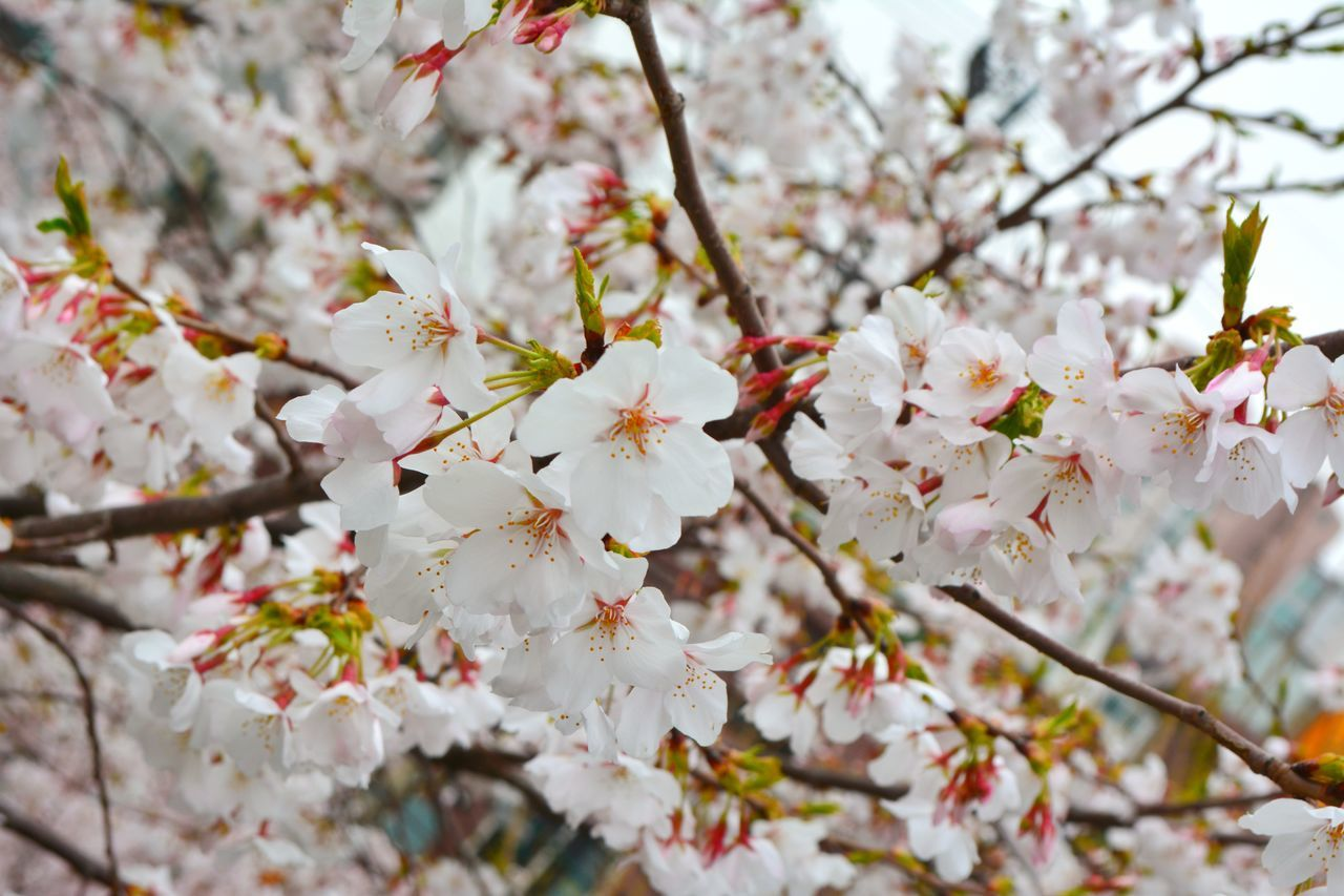 flower, blossom, fragility, springtime, beauty in nature, cherry blossom, white color, freshness, tree, apple blossom, branch, nature, cherry tree, apple tree, botany, growth, orchard, petal, twig, no people, stamen, day, selective focus, plum blossom, outdoors, spring, close-up, flower head, blooming, low angle view, backgrounds