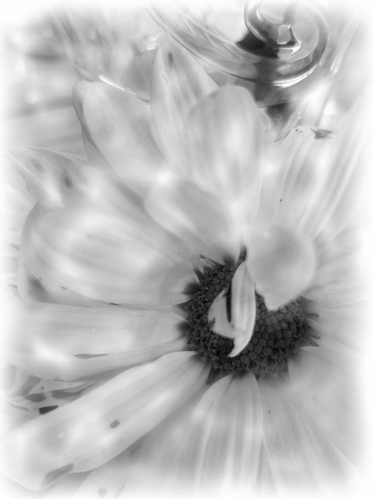B&W Spinner Backgrounds Beauty In Nature Close-up Daisy Day Easter Ready Flower Flower Head Fragility Freshness Full Frame Growth MUR B&W Nature No People Outdoors Petal Plant Spiral Spring