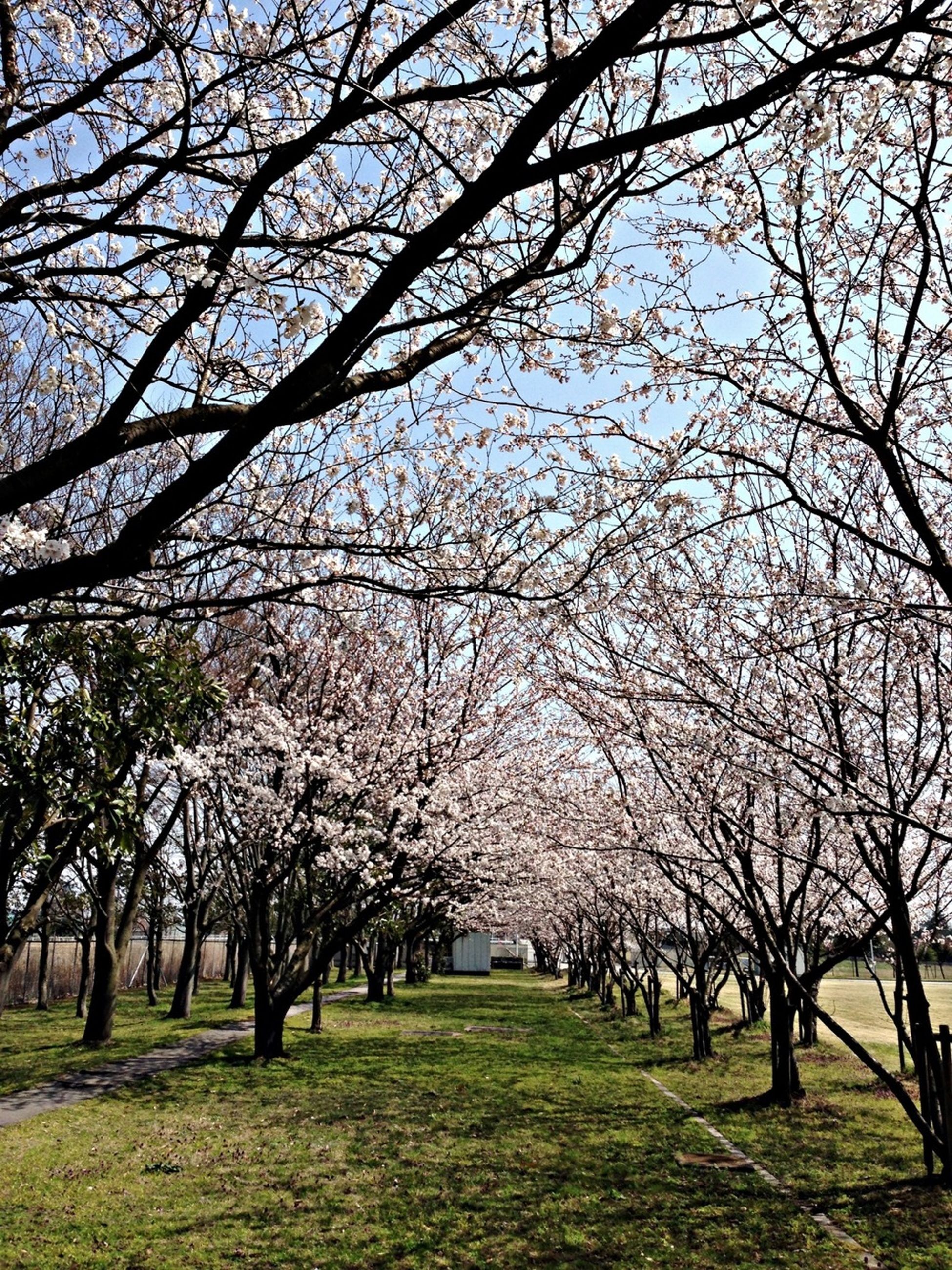 tree, branch, flower, growth, beauty in nature, nature, freshness, blossom, tranquility, park - man made space, cherry blossom, sky, tranquil scene, grass, cherry tree, scenics, springtime, spring, field, day