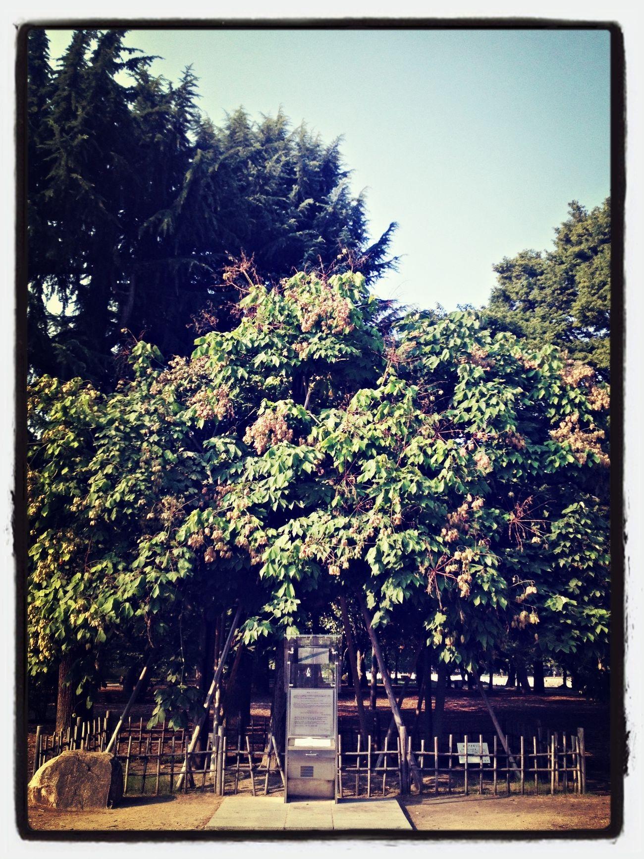 アオギリの木。 平和記念公園